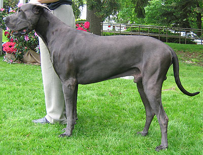 What Are Great Danes Bred For Great Dane   Another dog with